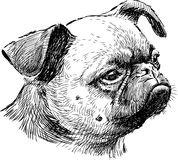 Pug head. Vector drawing of a portrait of a lap dog stock illustration