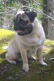 Pug in het land royalty-vrije stock afbeelding
