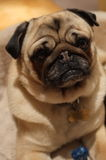 Pug Hond Stock Afbeelding