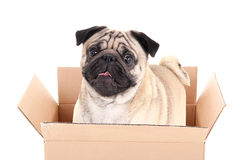Pug hond in bruine die kartondoos op wit wordt geïsoleerd Stock Afbeelding