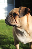 Pug hond dichte omhooggaand Royalty-vrije Stock Afbeeldingen