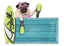 pug hond met blauw uitstekend houten die strandteken, surfplank en vinnen voor zomer, op witte achtergrond wordt de geïsoleerd Royalty-vrije Stock Foto's