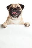 Pug hond met bunner op witte achtergrond wordt geïsoleerd die het ontwerp creatieve werk royalty-vrije stock foto's