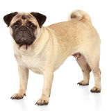 Pug hond op witte achtergrond Stock Foto's