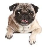 Pug hond op witte banner royalty-vrije stock afbeeldingen