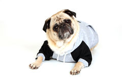 Pug In A Hoodie Stock Images