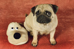 Pug and house slipper as a dog. Sitting in front of  red background Stock Image