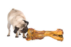 Pug with a huge bone Stock Images