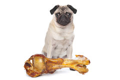 Pug with a huge bone Stock Photography