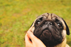 Pug hugged with hand Stock Images