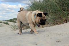 Pug-Hund auf einem Strand erforschend Stockbilder