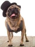 Pug-Hund, der einen Spitzenhut und eine Weste trägt Stockbild