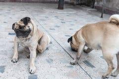 Pug-Hunde Stockfotos