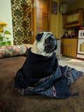 Pug im Winter lizenzfreie stockfotos