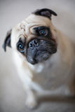 Pug with inquisitive look Royalty Free Stock Photography