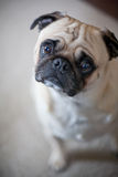 Pug with inquisitive look Royalty Free Stock Photos
