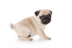 Pug isolated Stock Photos