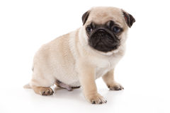 Pug isolated Royalty Free Stock Photos
