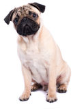 Pug isolated on white background. Studio shot of a sitting pug, isolated on white background Stock Images