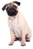 Pug isolated on white background Stock Images