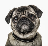 Pug isolated on white Stock Photos