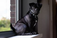 Jack Russell Pug sat on window. Pug Jack Russell Cross cute puppy sat on window sill. how much is that doggy in the window looking at camera stock photography