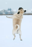 Pug jumping in snow Royalty Free Stock Photo