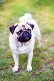 Pug on the lawn. Pug on the green lawn Stock Image