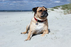 Pug laying on a beach landscape Royalty Free Stock Image
