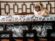 Pug Laying Down on Bed Royalty Free Stock Image