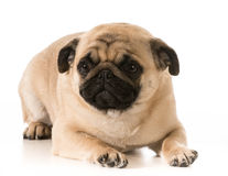 Pug laying down Royalty Free Stock Photo