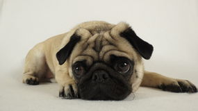 Pug laying on the ground Royalty Free Stock Images