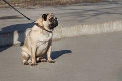 Pug on the leash Stock Photography