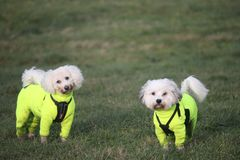 Pug Life? Poodle Life! royalty free stock photography
