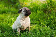 Pug. Little pug in the grass Stock Image