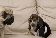 Pug Looking at Beagle Puppy Stock Image