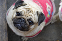 Pug. Looking at camera so cute Royalty Free Stock Photos