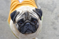 Pug. Looking at camera so cute Royalty Free Stock Photography