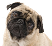 Pug Looking Cute. Pug Looking Concerned and Cute, isolated against white background Stock Photo