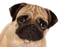 Pug looking to you isolated on a white background Stock Image