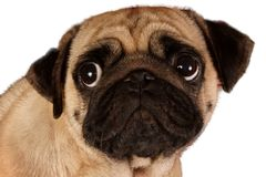 Pug looking to you isolated on a white background Royalty Free Stock Images