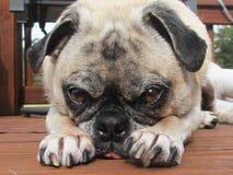 Pug Love Royalty Free Stock Image