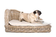Pug on a luxury bed Royalty Free Stock Photo