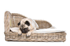 Pug on a luxury bed Royalty Free Stock Photography
