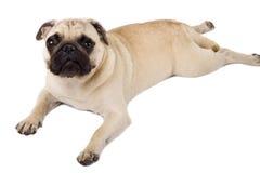 Pug lying stock photos