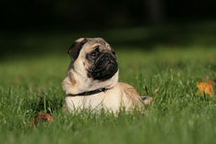 A Pug lying in the grass. A cute nice looking Pug with nice expression in head is lying in the grass Royalty Free Stock Photography