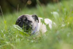 Pug lying in a grass. Hiding Stock Photography