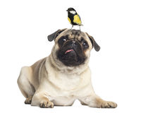 Pug, lying with a great tit on the head, isolated Royalty Free Stock Images