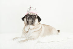 Pug lying with a pink crown on her head. White background, cream-colored dog looks up Stock Photos