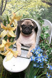 Pug in a Mailbox Stock Photography
